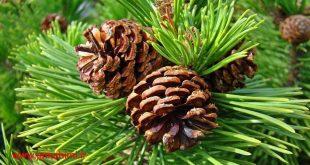 تولید نوعی پلاستیک زیست تخریب پذیر به نام pinene با استفاده از برگ درخت کاج