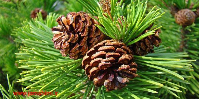 Photo of تولید نوعی پلاستیک زیست تخریب پذیر به نام pinene با استفاده از برگ درخت کاج